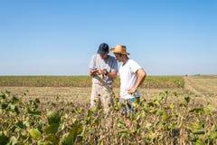 Fazendeiros em campos do feijão de soja Fotos de Stock Royalty Free