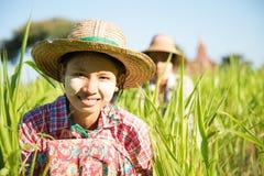 Fazendeiros fêmeas tradicionais de Myanmar que trabalham no campo foto de stock