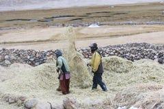 Fazendeiros que colhem o arroz no campo do arroz em Ladakh Imagem de Stock Royalty Free