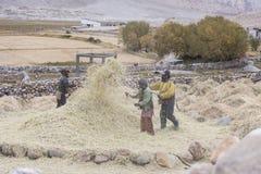 Fazendeiros que colhem o arroz no campo do arroz em Ladakh Foto de Stock