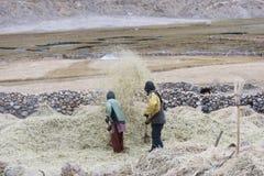 Fazendeiros que colhem o arroz no campo do arroz em Ladakh Imagens de Stock Royalty Free