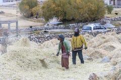 Fazendeiros que colhem o arroz no campo do arroz em Ladakh Fotografia de Stock