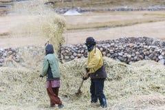 Fazendeiros que colhem o arroz no campo do arroz em Ladakh Imagens de Stock