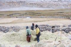 Fazendeiros que colhem o arroz no campo do arroz em Ladakh Imagem de Stock