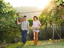 Fazendeiros que colhem uvas em um vinhedo fotos de stock