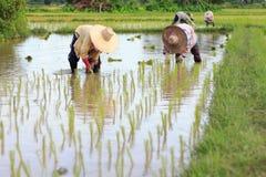 Fazendeiros que plantam o arroz na exploração agrícola fotografia de stock