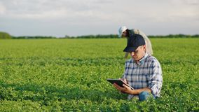 Fazendeiros que trabalham em um campo do grão-de-bico na mola video estoque