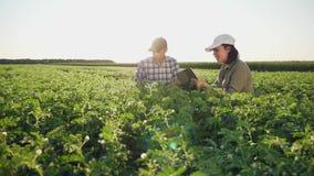 Fazendeiros que trabalham em um campo do grão-de-bico no por do sol video estoque