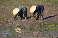 Fazendeiros vietnamianos trabalho e labuta nos campos do arroz Fotografia de Stock Royalty Free