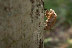 Fazer a muda da cigarra na casca de árvore fotografia de stock royalty free