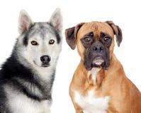föder upp olika hundar två Royaltyfri Fotografi