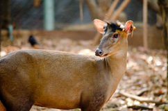 Fea muntjac is deer Royalty Free Stock Images