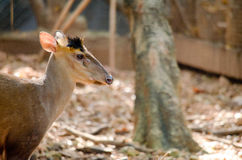 Fea muntjac is deer Stock Photo