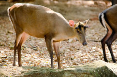 Fea muntjac is deer Royalty Free Stock Photo