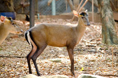 Fea muntjac is deer Stock Images