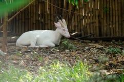 Fea muntjac is deer Stock Photo