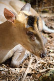 Fea muntjac is deer Royalty Free Stock Image
