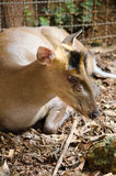 Fea muntjac is deer Stock Photography
