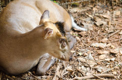 Fea muntjac is deer Stock Image