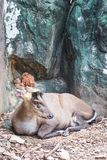 Fea`s muntjac sitting in the zoo. Fea`s muntjac, Munticus feae sitting  in the zoo Stock Images