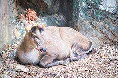 Fea`s muntjac sitting in the zoo. Fea`s muntjac, Munticus feae sitting  in the zoo Stock Photo