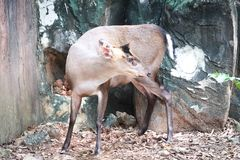Fea`s muntjac standing in the zoo. Fea`s muntjac, Munticus feae standing in the zoo Royalty Free Stock Images