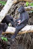 Feamle with baby Crested black macacue, Macaca nigra, on the tree, Tangkoko National Park, Sulawesi, Indonesia Royalty Free Stock Photography