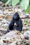 Feamle with baby Crested black macacue, Macaca nigra, on the tree, Tangkoko National Park, Sulawesi, Indonesia Royalty Free Stock Photo