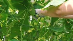 Feamle farmer picking a cucumber