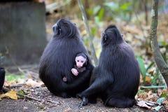 feamle mit Baby erklomm schwarzes macacue, Macaca Nigra, auf Lizenzfreies Stockbild