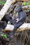 Feamle mit Baby erklomm schwarzes macacue, Macaca Nigra, auf dem Baum, Nationalpark Tangkoko, Sulawesi, Indonesien Lizenzfreie Stockfotografie