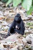 Feamle mit Baby erklomm schwarzes macacue, Macaca Nigra, auf dem Baum, Nationalpark Tangkoko, Sulawesi, Indonesien Lizenzfreies Stockfoto