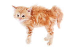 Fear. Pretty foxy-red bristling kitten on white background Stock Photography