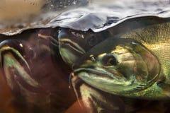 Fear Chinook Coho Salmon Close Up Issaquah Hatchery Washington Stock Photography
