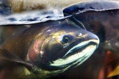 Fear Chinook Coho Salmon Close Up Issaquah Hatchery Washington  Royalty Free Stock Photos