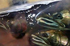 Fear Chinook Coho Salmon Close Up Issaquah Hatchery Washington S Stock Image