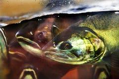 Fear Chinook Coho Salmon Close Up Issaquah Hatchery Washington S Royalty Free Stock Photo