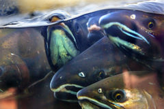 Fear Chinook Coho Salmon Close Up Issaquah Hatchery Washington S. Fear Salmon Oncorhynchus tshawytscha Issaquah Hatchery Washington.  Salmon swim up the Issaquah Stock Photos