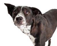 Fearful Australian Shepherd Mixed Breed Dog Stock Photo