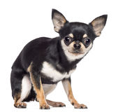 Fearful Chihuahua, 1.5 years old, sitting Royalty Free Stock Images