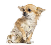 Fearful Chihuahua, 1 year old, dressed, sitting Stock Photo