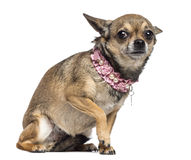 Fearful Chihuahua, 3 years old, sitting Royalty Free Stock Photography