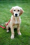 Fearful golden retriever puppy Stock Photos