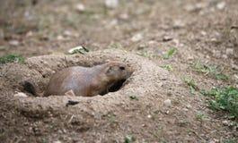 Fearful prairie dog goes inside its burrow dug in the sandy Stock Photos