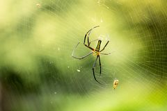 Fearful SpiderAraneae on the web coming to its prey. With blurred green background stock photography