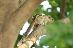 Fearful sqirrel up on a tree stock photos
