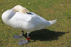 Fearful Swan hides the head between the white feathers Stock Photos