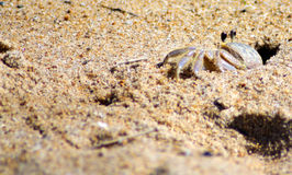 Fearfull Crab Royalty Free Stock Photography