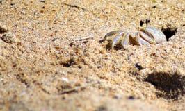 Fearfull krabba Royaltyfri Fotografi