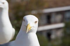 Fearless big bird Seagull Stock Image